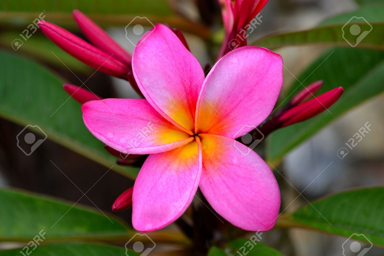 Plumeria yellow flower ide dimage de fleur pink and yellow frangiapani plumeria flower stock photo picture mightylinksfo