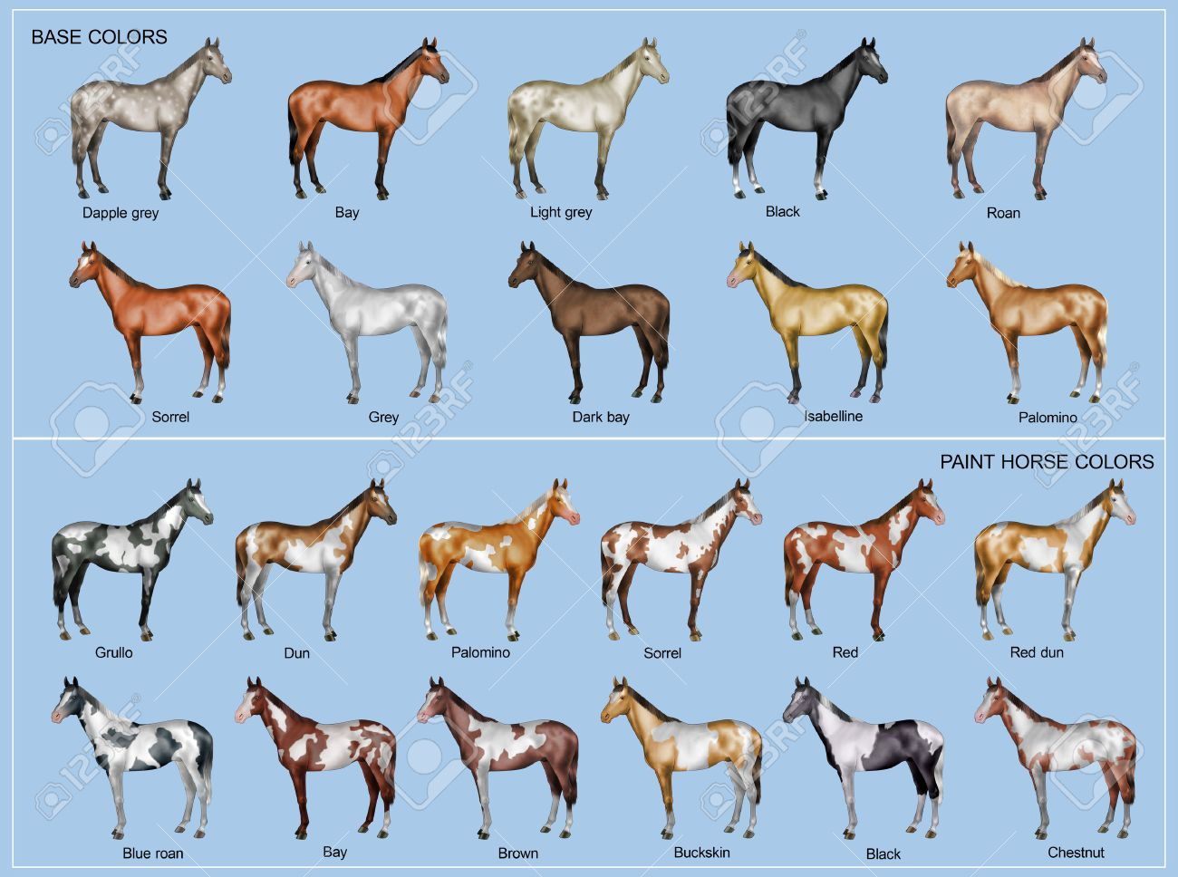 Chart Of The 22 Main Horse Coat Colors Stock Photo Picture And Royalty Free Image Image 48862759