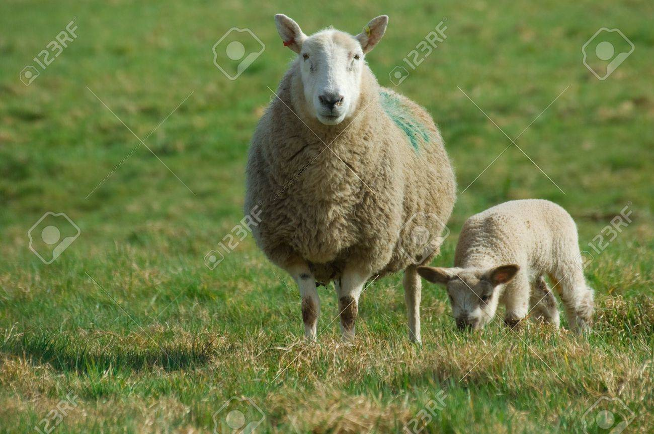 a mother sheep watching for danger as her spring baby lamb eats some grass. Stock Photo - 4520721