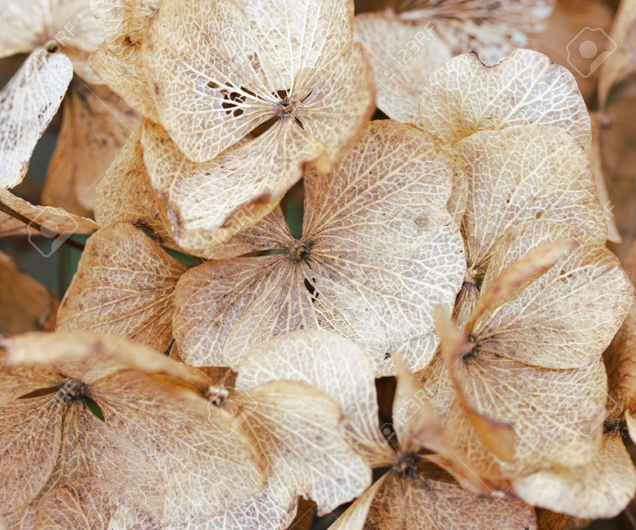 dried hydrangea petals Stock Photo - 2508564