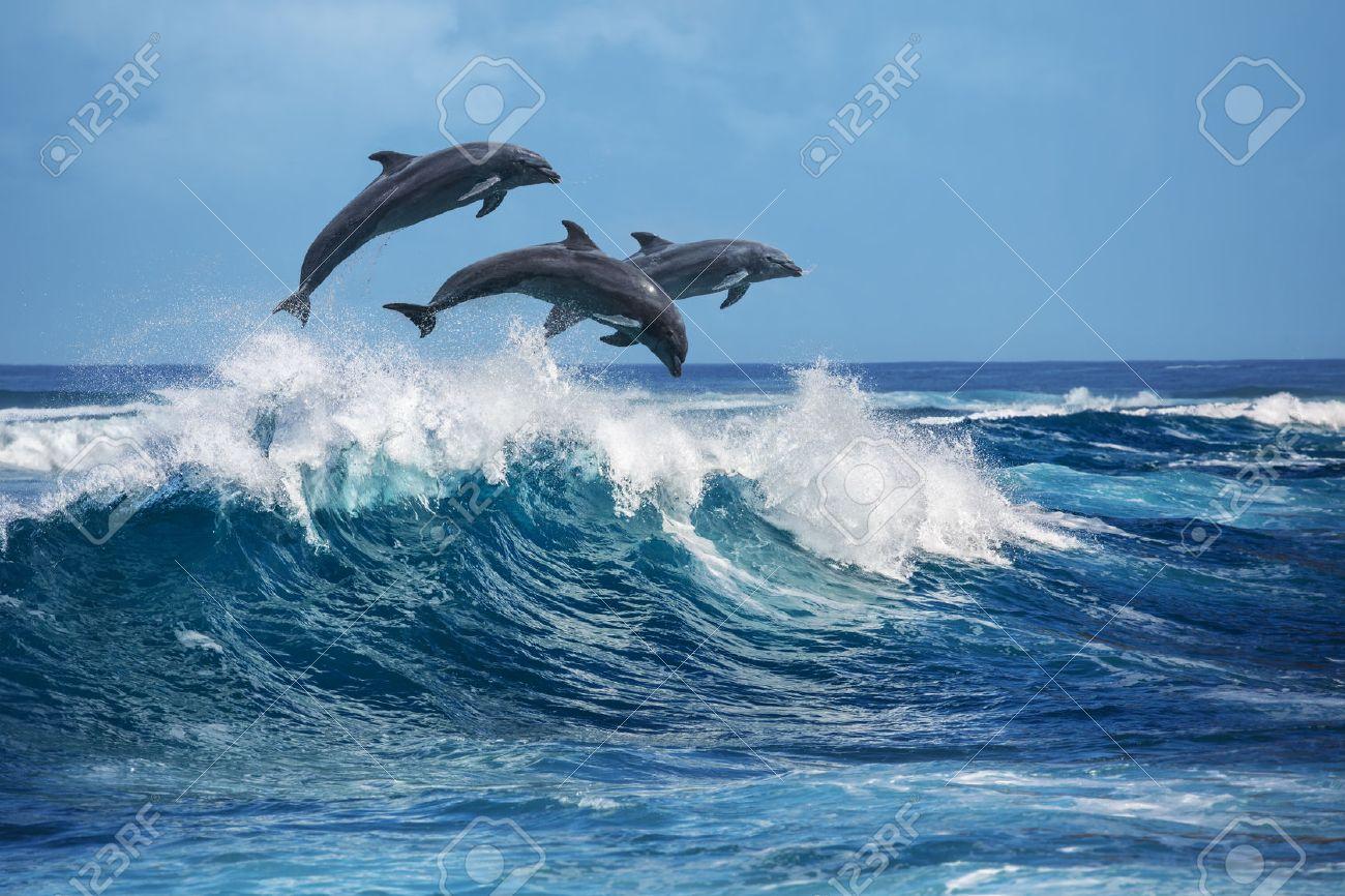 Three beautiful dolphins jumping over breaking waves. Hawaii Pacific Ocean wildlife scenery. Marine animals in natural habitat. - 60890534