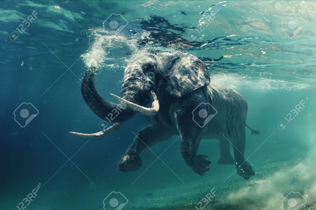 elephant swimming images u0026 stock pictures royalty free elephant