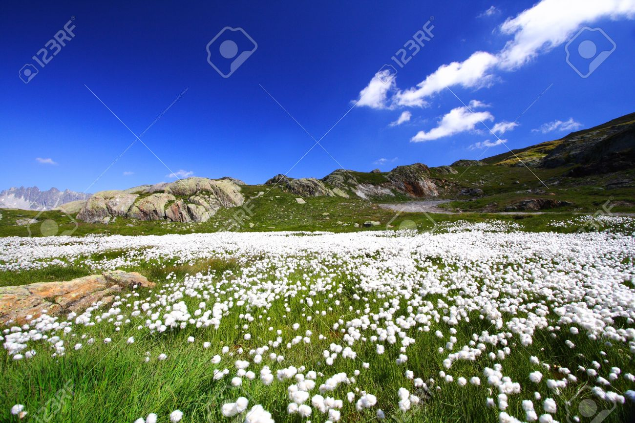 Mountains and white flowers carpet under a blue sky in summer mountains and white flowers carpet under a blue sky in summer the french alps mightylinksfo