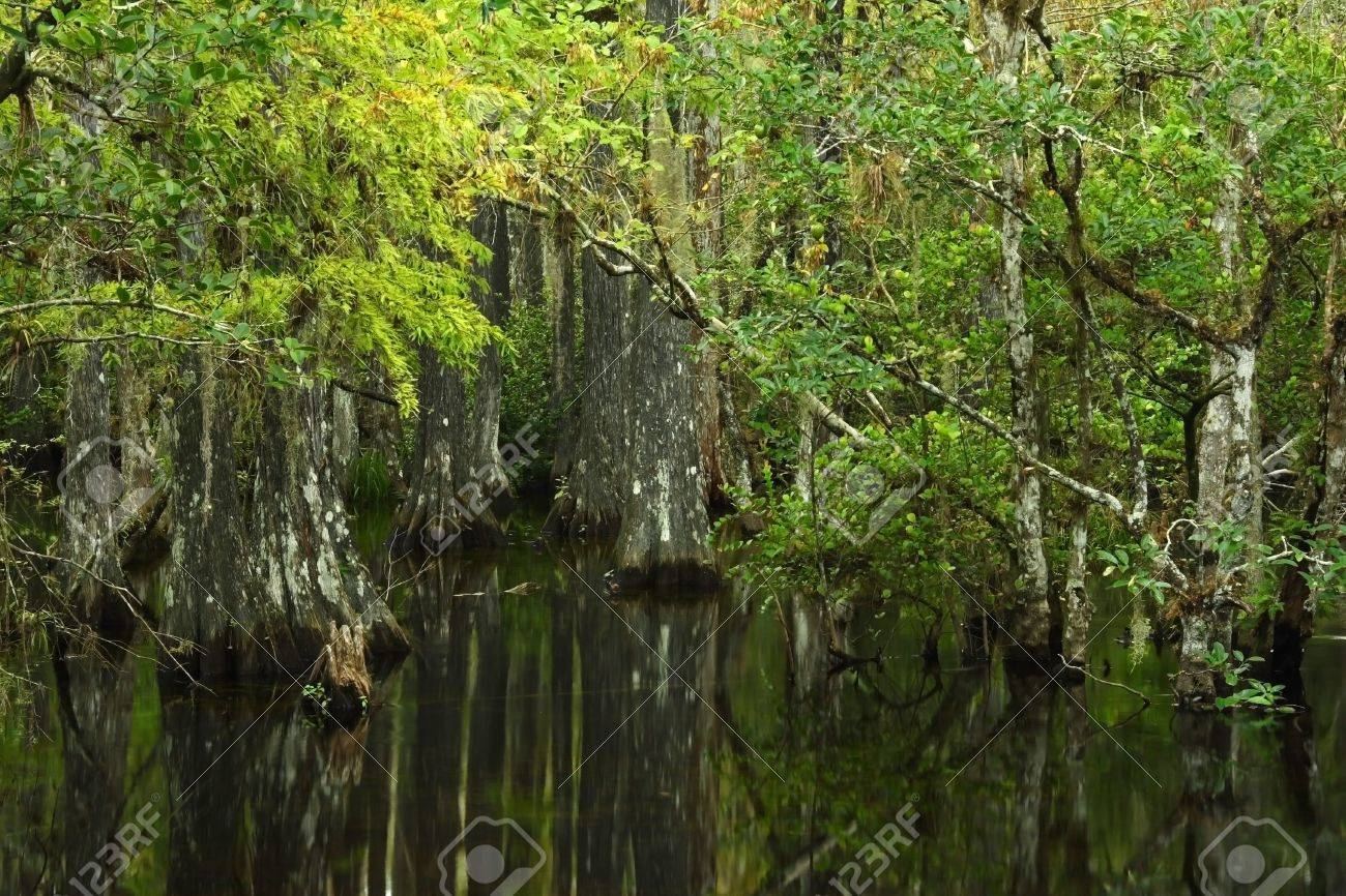 Cypress trees in Big Cypress National Preserve, Florida Stock Photo - 7556469