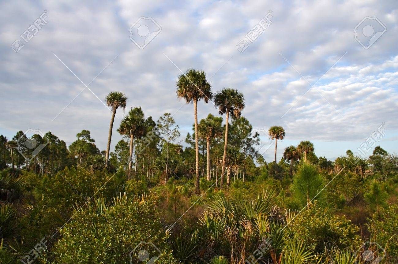 Scenic Landscape, Okaloacoochee Slough State Forest, South Florida Stock Photo - 13190027