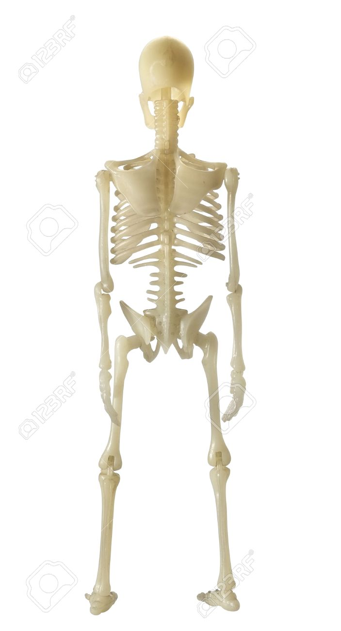 Human Skeleton On White Background Back View Stock Photo Picture