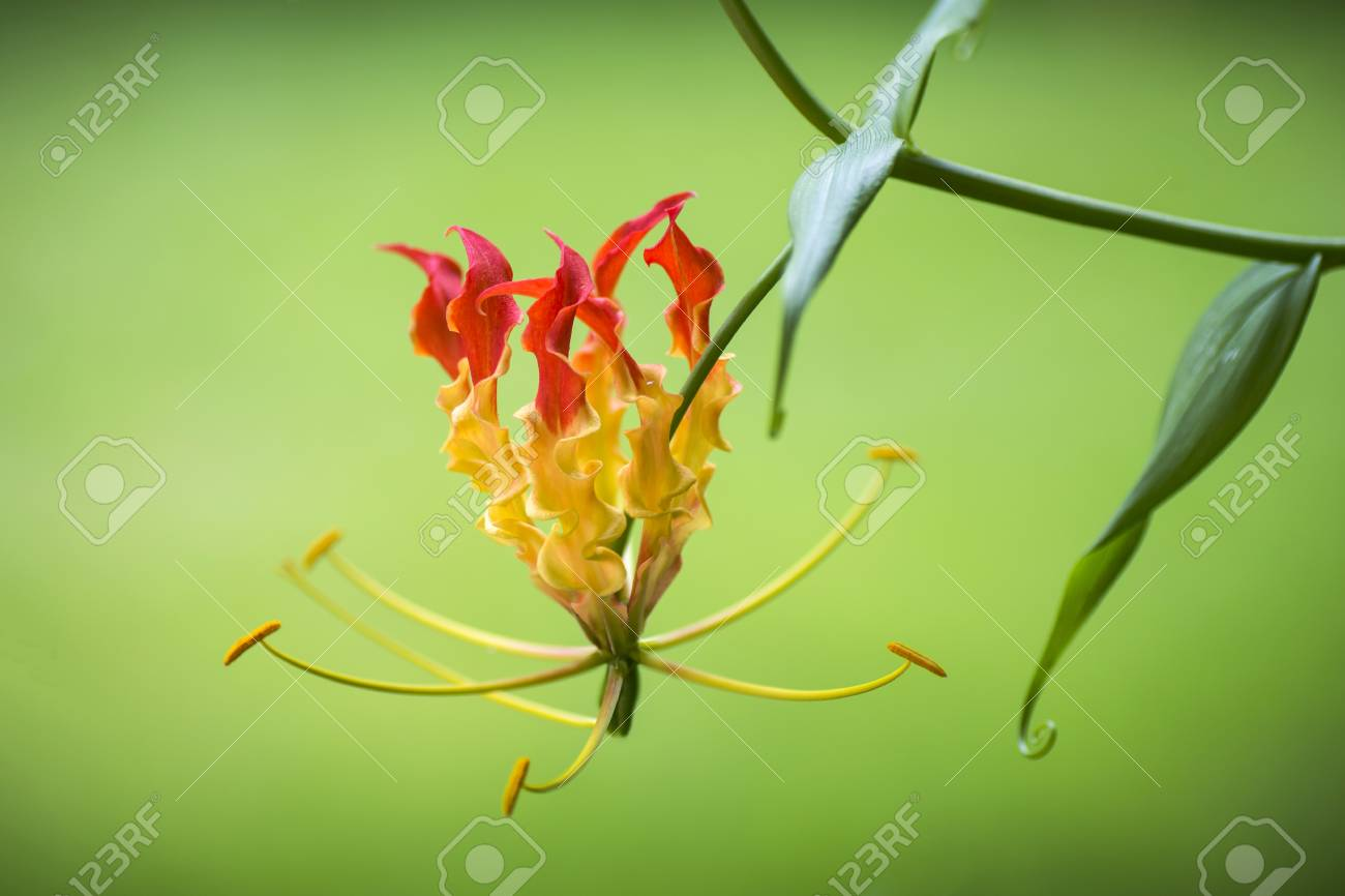 Red and yellow flame lily flower or climbing lily creeping red and yellow flame lily flower or climbing lily creeping lily glory lily gloriosa lily tiger claw fire lily izmirmasajfo