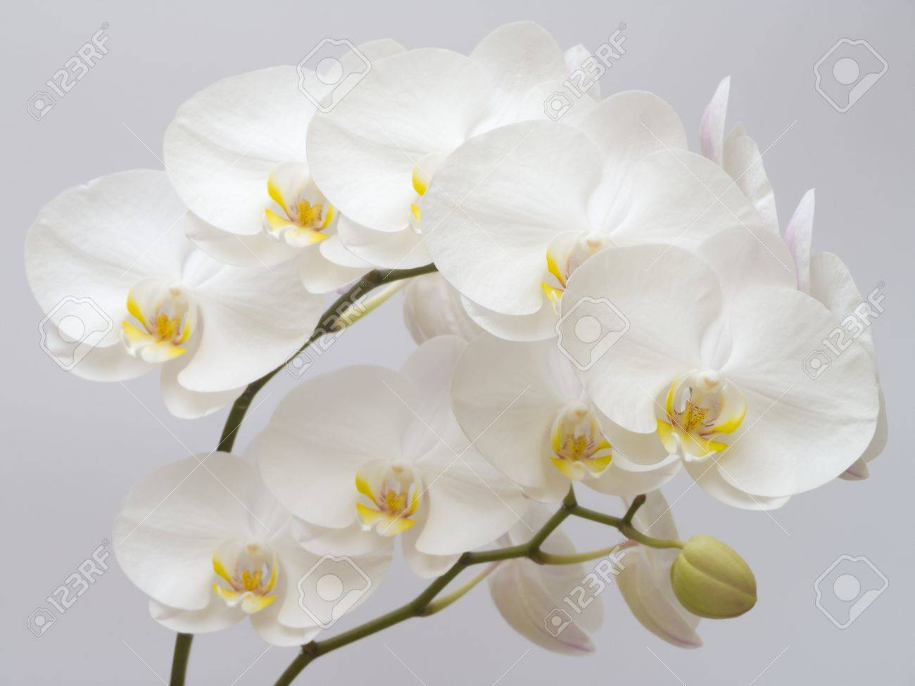 White Orchid on a gray background Stock Photo - 9830938