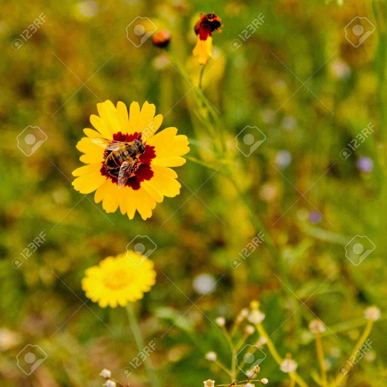 Yellow Flower With Dark Centre And Insect In Green Field