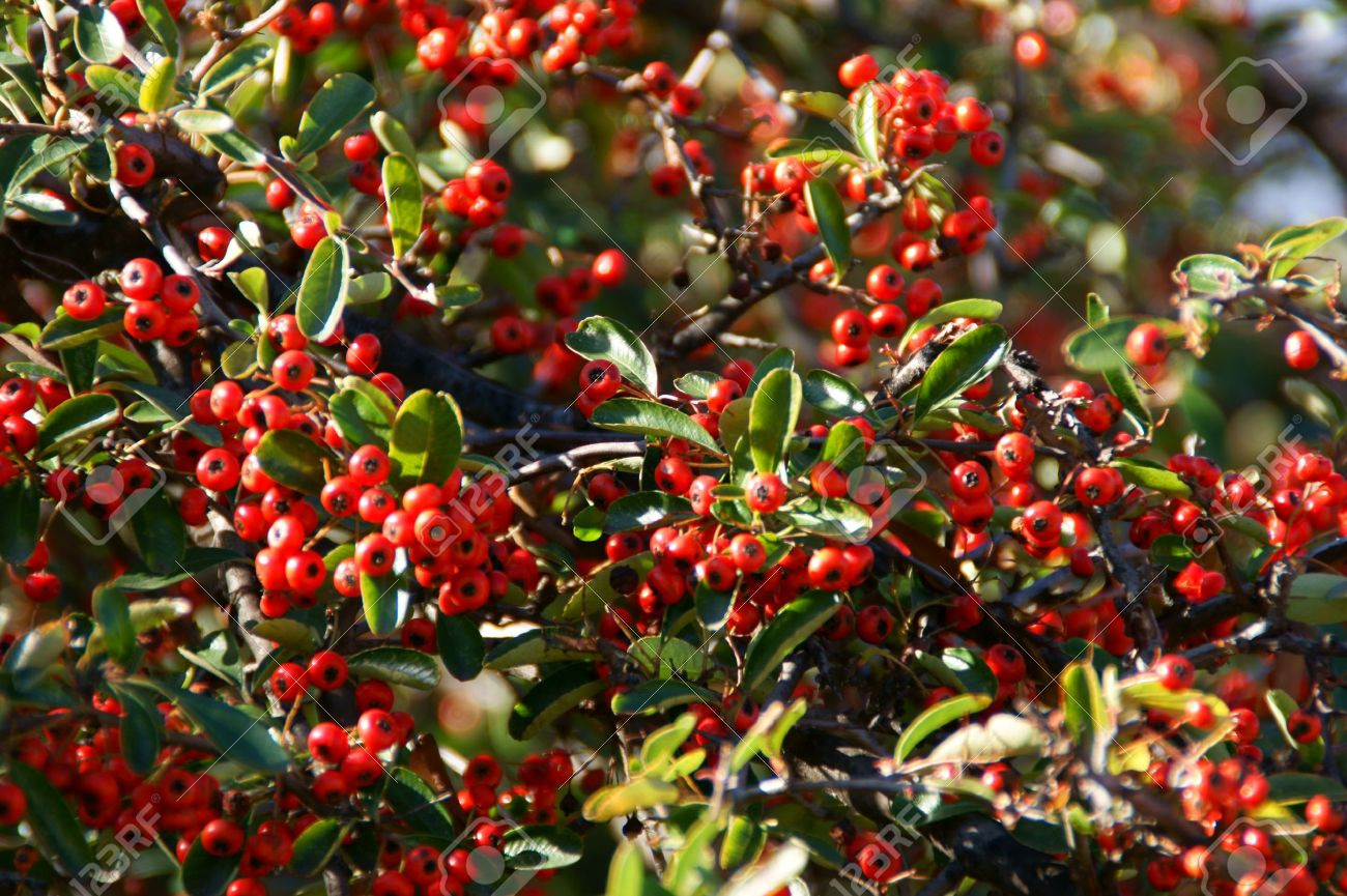 Pyracantha coccinea is a species of firethorn the tree has small pyracantha coccinea is a species of firethorn the tree has small white flowers it mightylinksfo Gallery