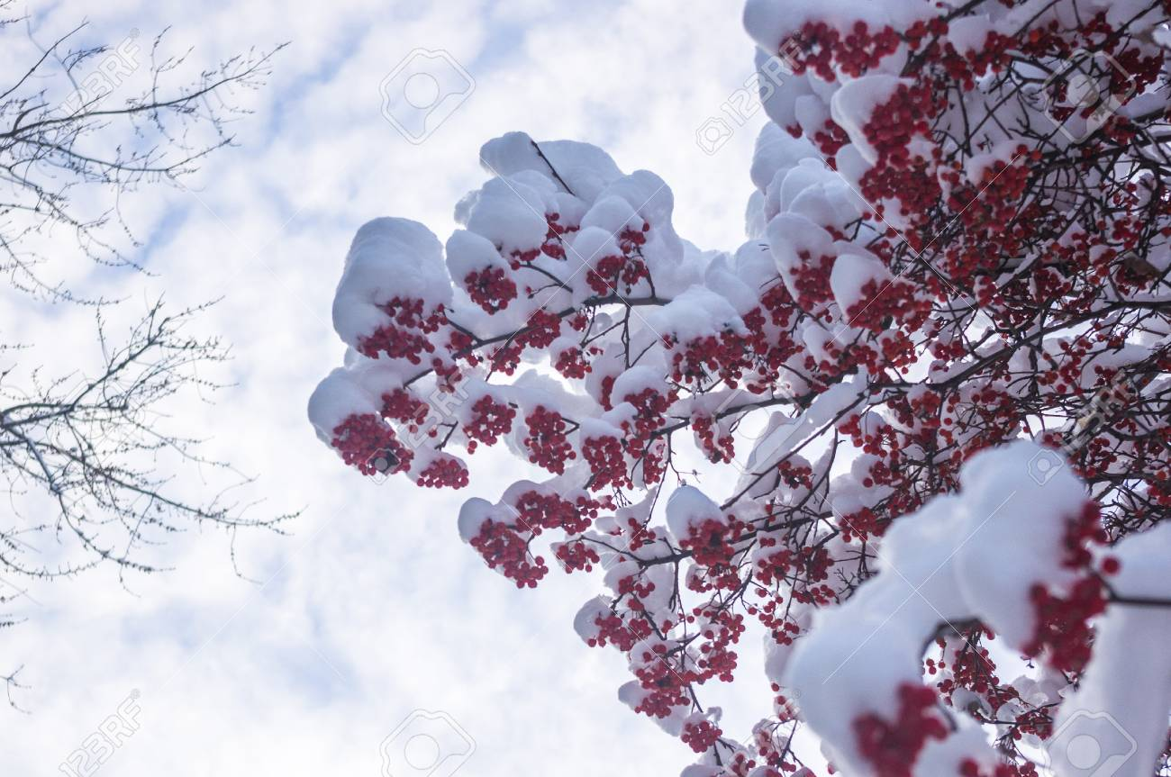 Rowan tree, mountain ash, with red berries in the snow, winter Wallpapers concept