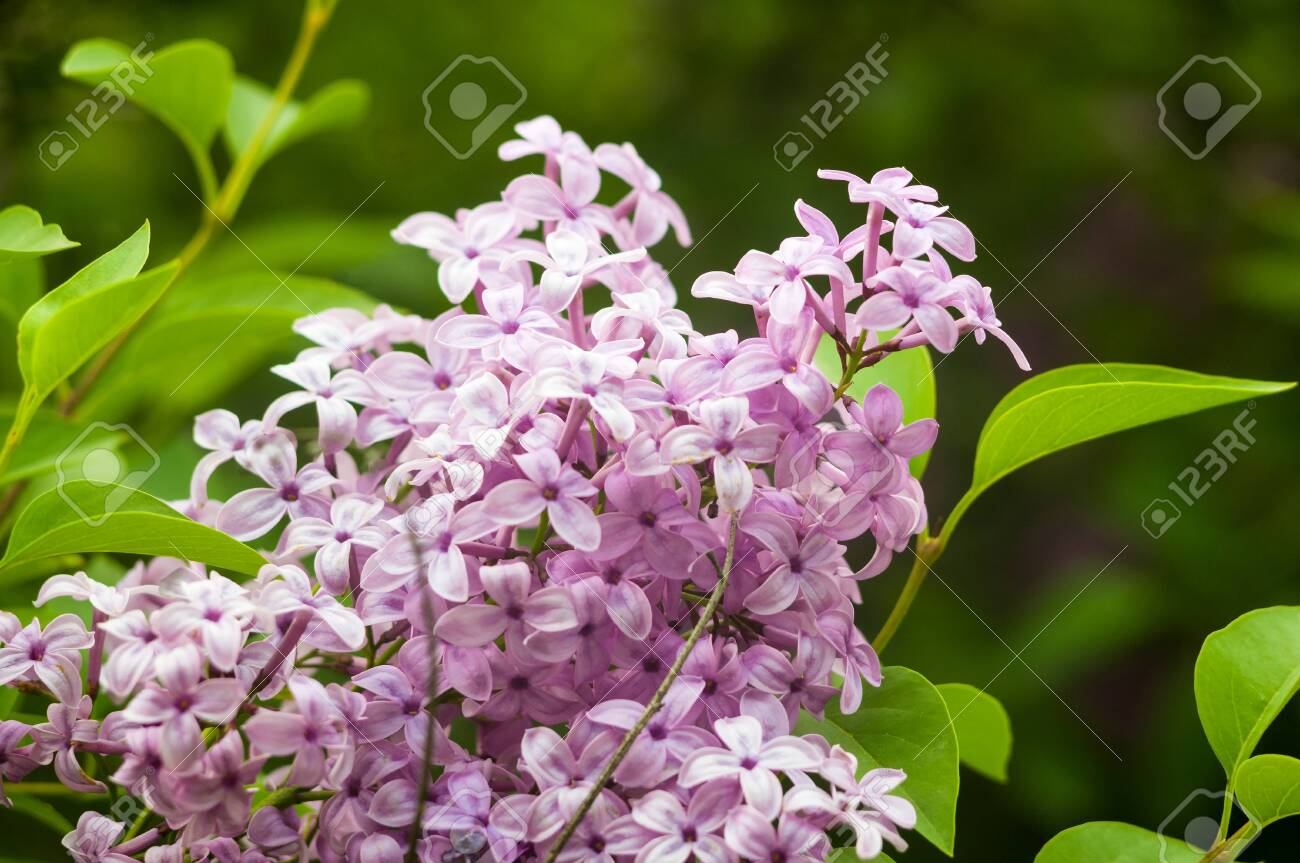 Branch with spring blossoms pink lilac flowers, blooming floral background. - 140835762