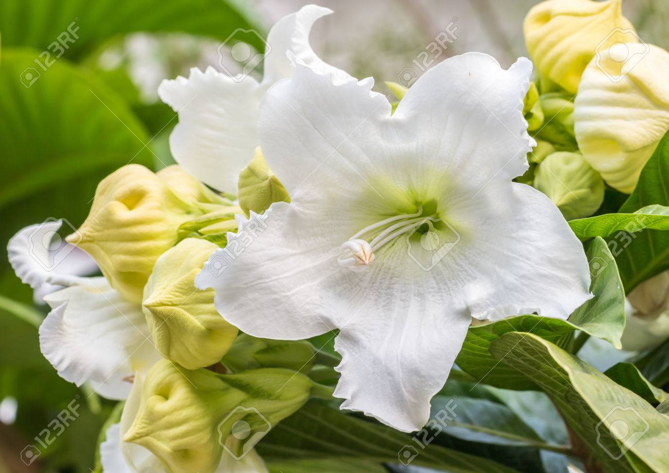 White Flowers Name Easter Lily Vine Heralds Trumpet Nepal