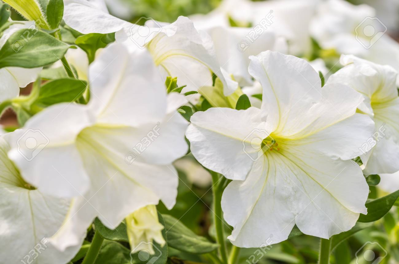 White Petunia Flower Blooming In Garden In Soft Blurred Style
