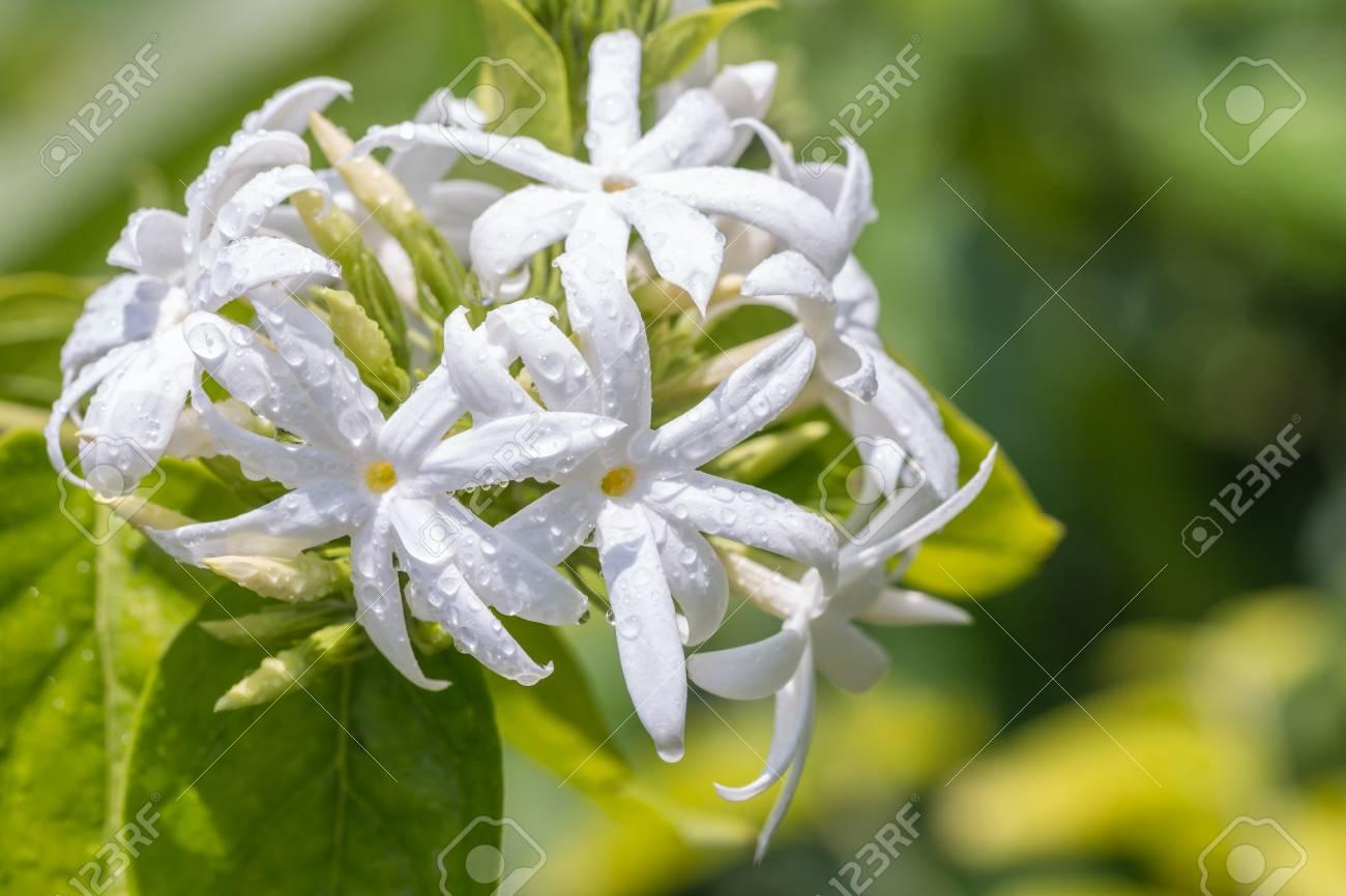 White Flowers Angel Hair Jasmine Star Jasmine Jasminum