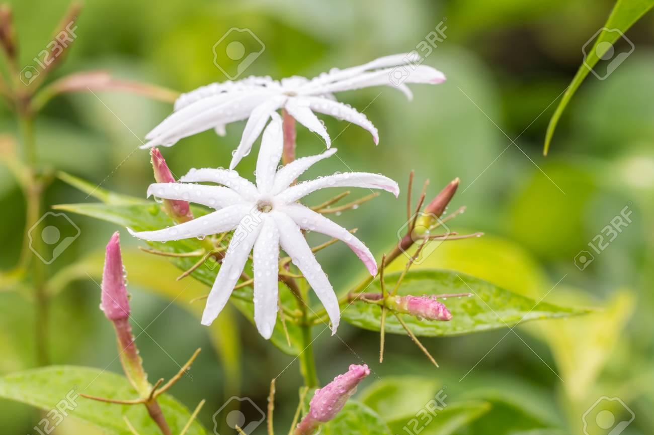 White Flowers Scented Star Jasmine Climbing Jasmine Jasminum