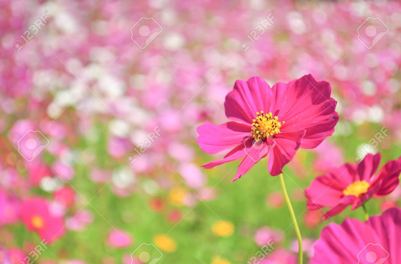 Close up of pink cosmos flower in the field stock photo picture and close up of pink cosmos flower in the field stock photo 47546241 mightylinksfo