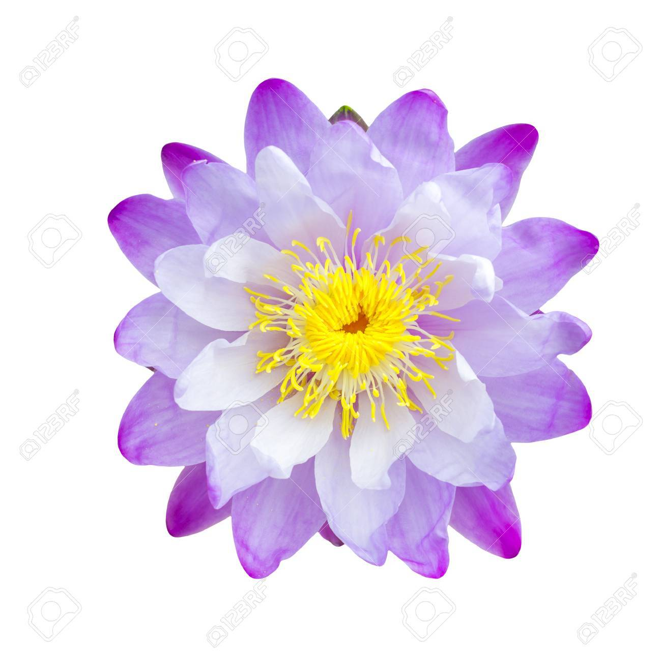 Purple lotus flower isolated with clipping path stock photo purple lotus flower isolated with clipping path stock photo 24666369 izmirmasajfo Gallery