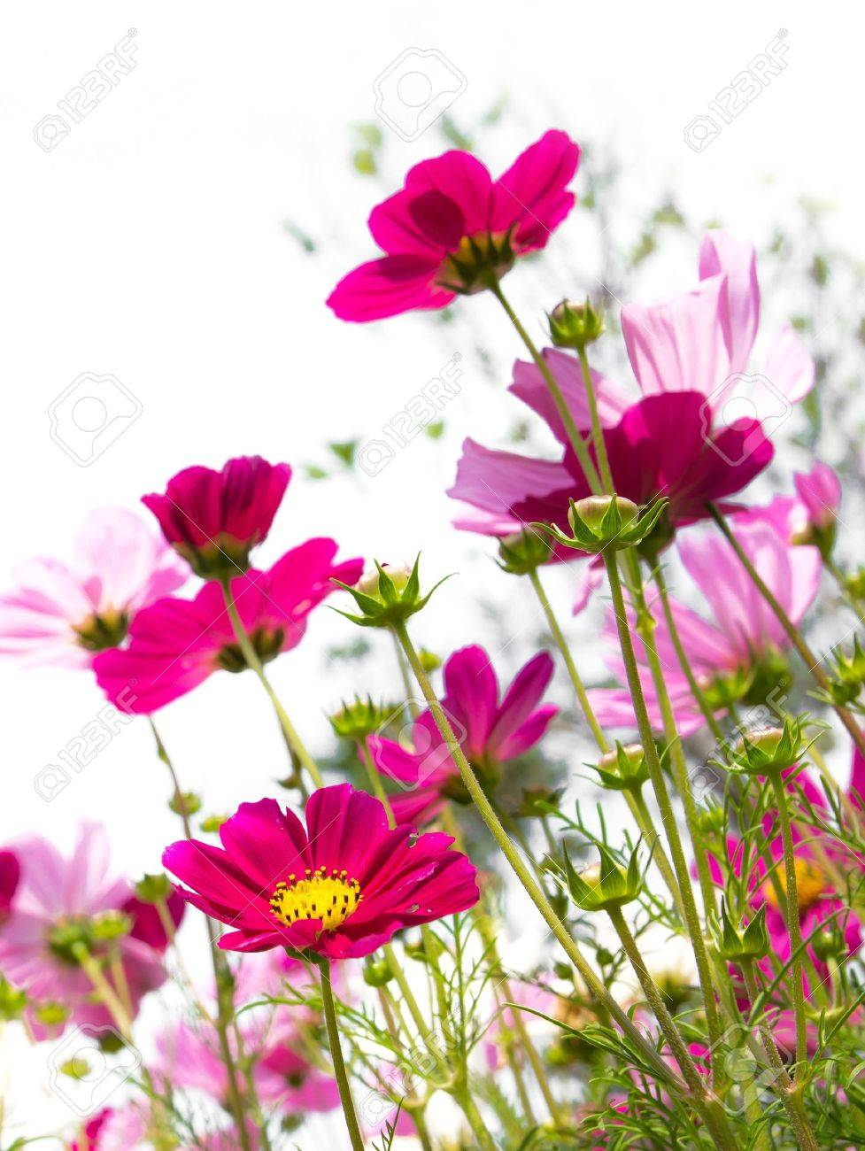 pink cosmos flower Stock Photo - 9009474