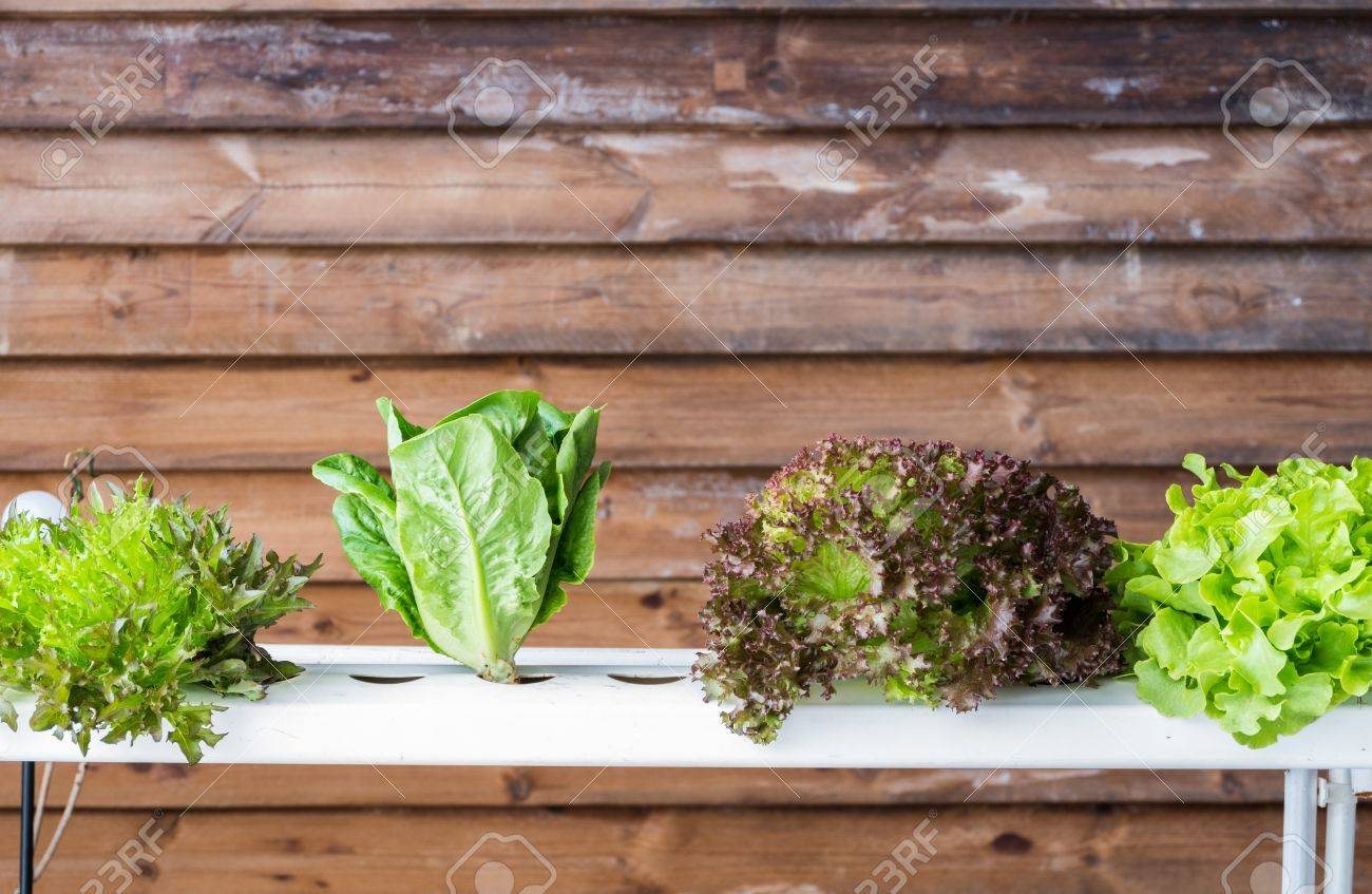 Green Oak Red Oak Letture And Cos Vegetable Hydroponics Method ...