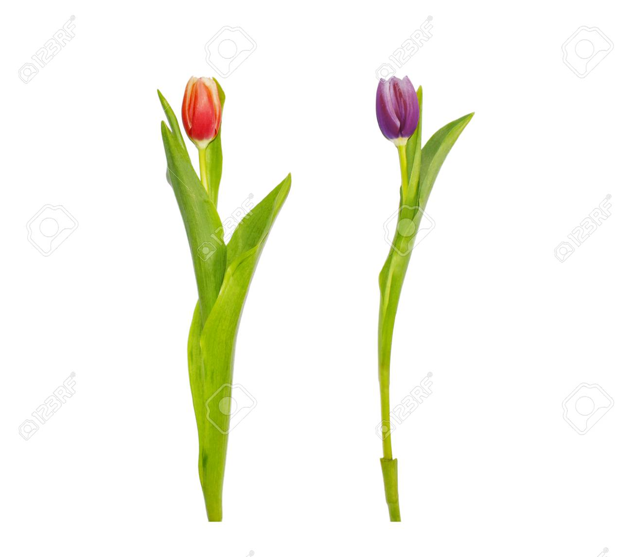 Red And Purple Tulip Flowers Isolated On White Background Tall