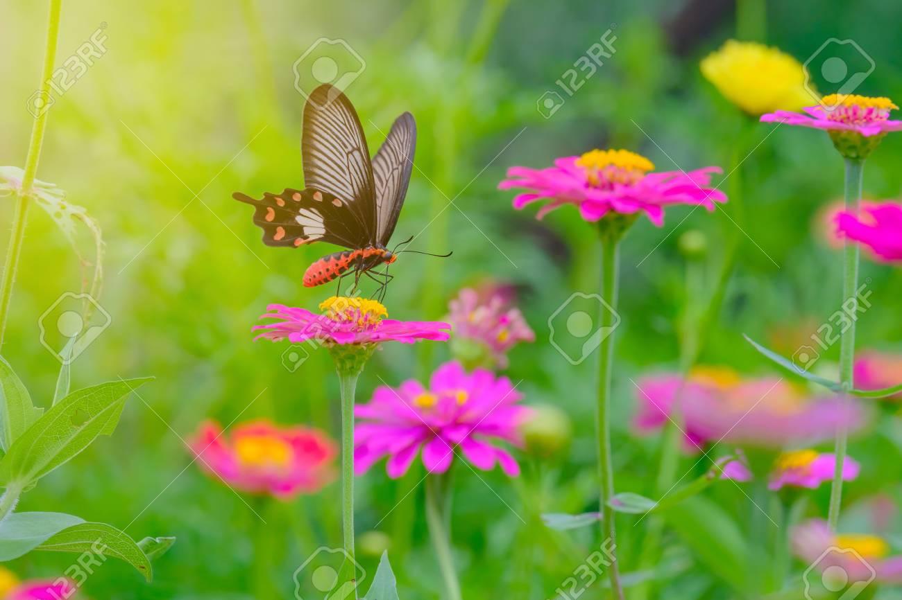 f2deea1b09735 Banque d'images - Papillon vole vers les fleurs roses dans le jardin avec  une lumière chaude.