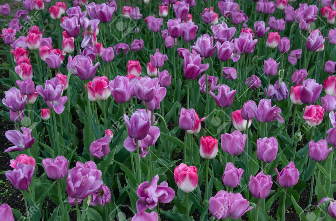 Beautiful Tulip Flowers In Spring Season Stock Photo Picture And