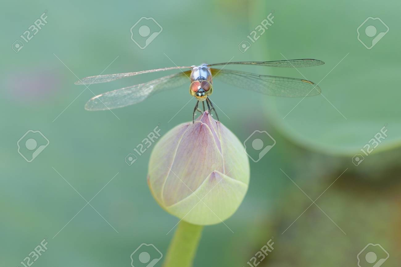 Close Up A Dragonfly On Lotus Flower Stock Photo Picture And