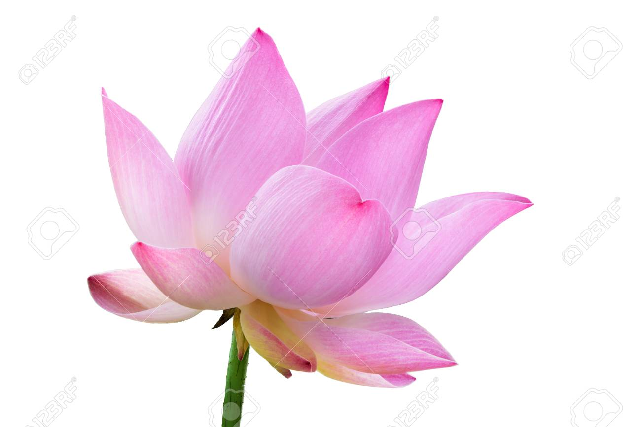 Close Up Pink Lotus Flower High Resolution Isolated On White Stock