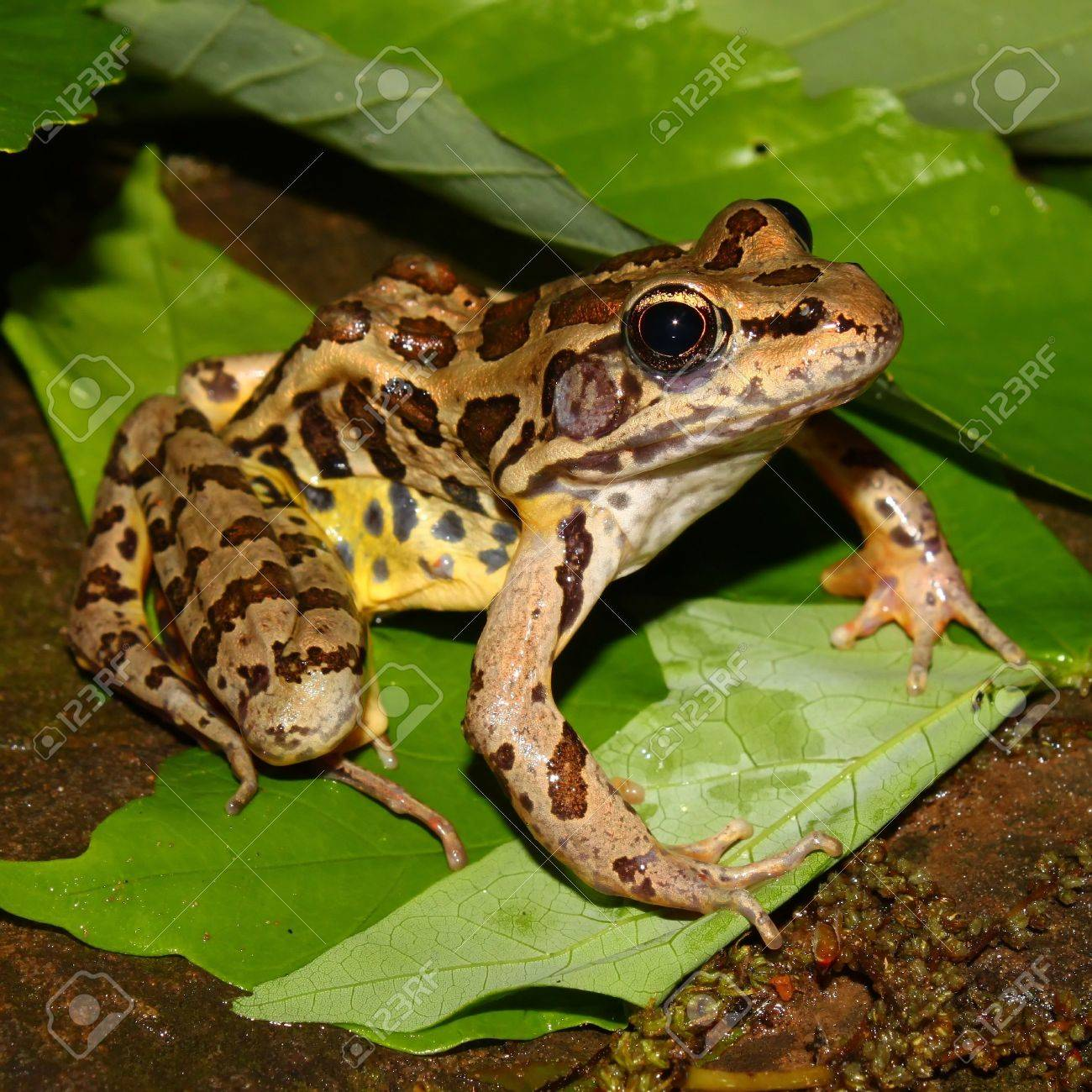 Pickerel Frog (Rana palustris) sits on the forest floor at Monte Sano State Park - Alabama Stock Photo - 7714417