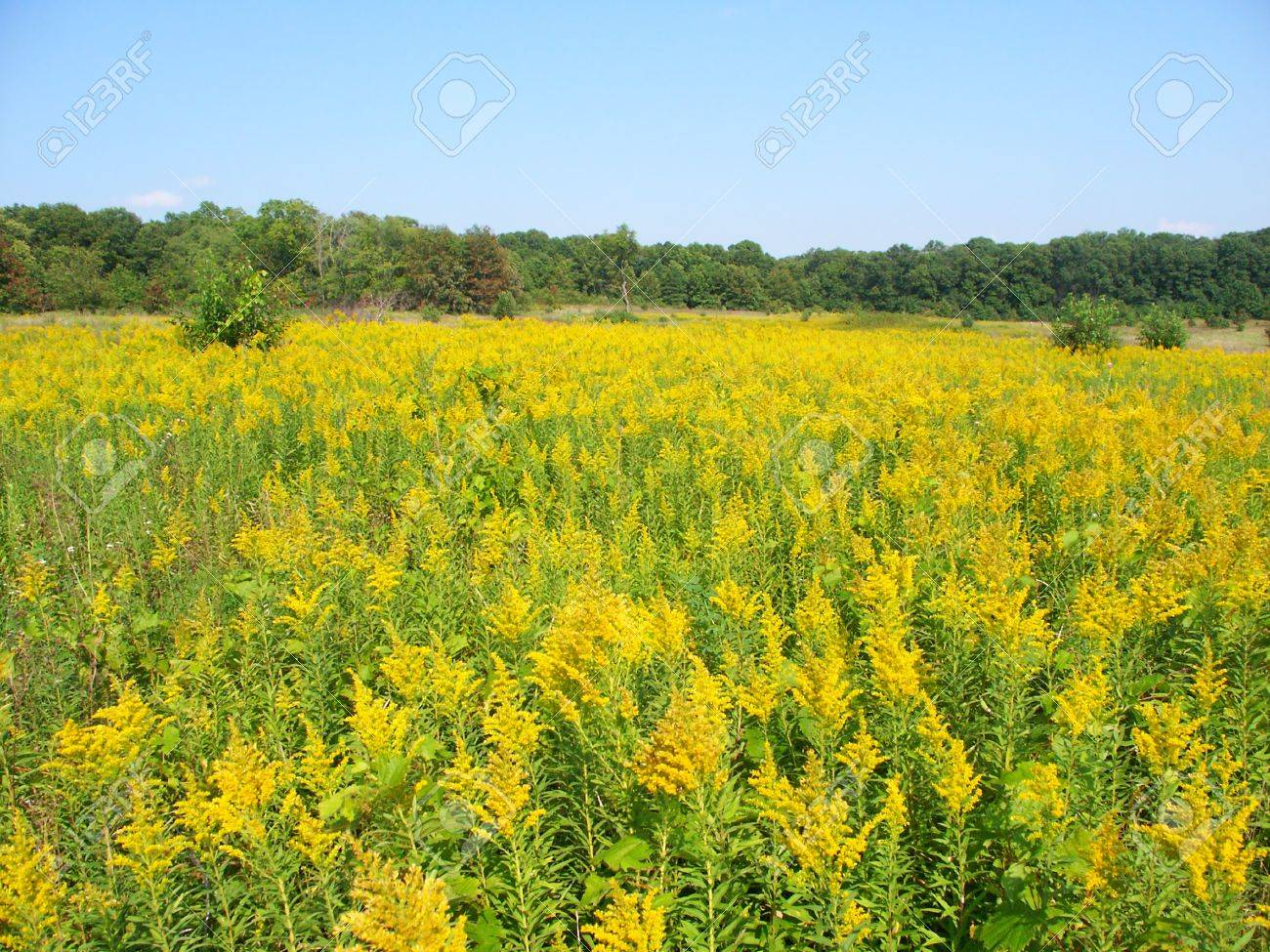 Field of blooming Goldenrod at Colored Sands Forest Preserve in northern Illinois Stock Photo - 9778374