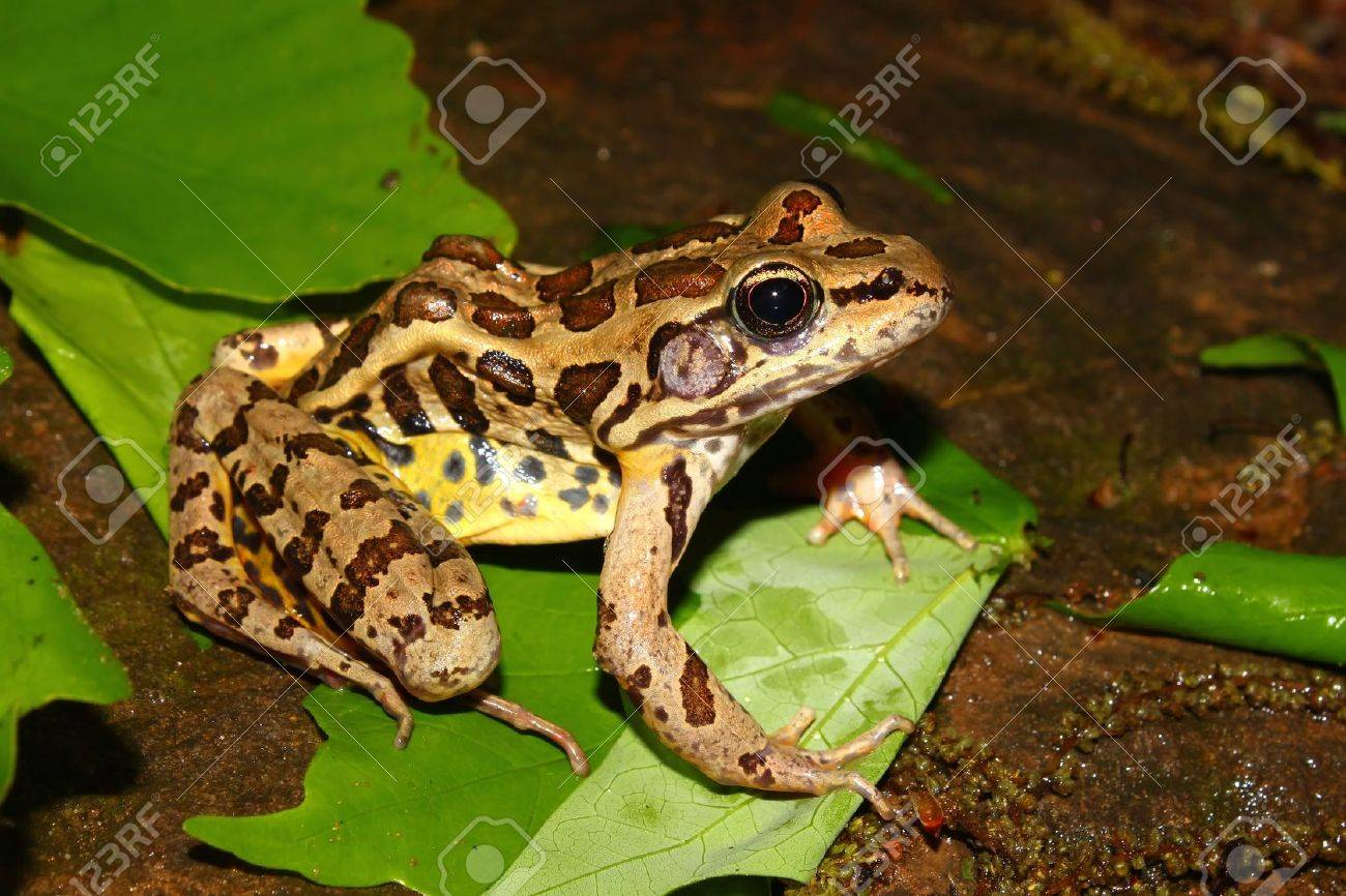 Pickerel Frog (Rana palustris) in the southern USA Stock Photo - 10554385