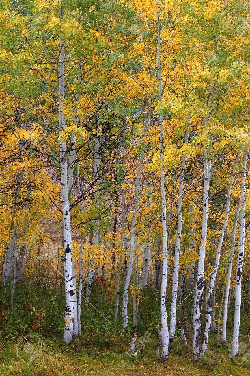 Aspen leaves turn bright yellow in the Cache National Forest of Utah Stock Photo - 11313024