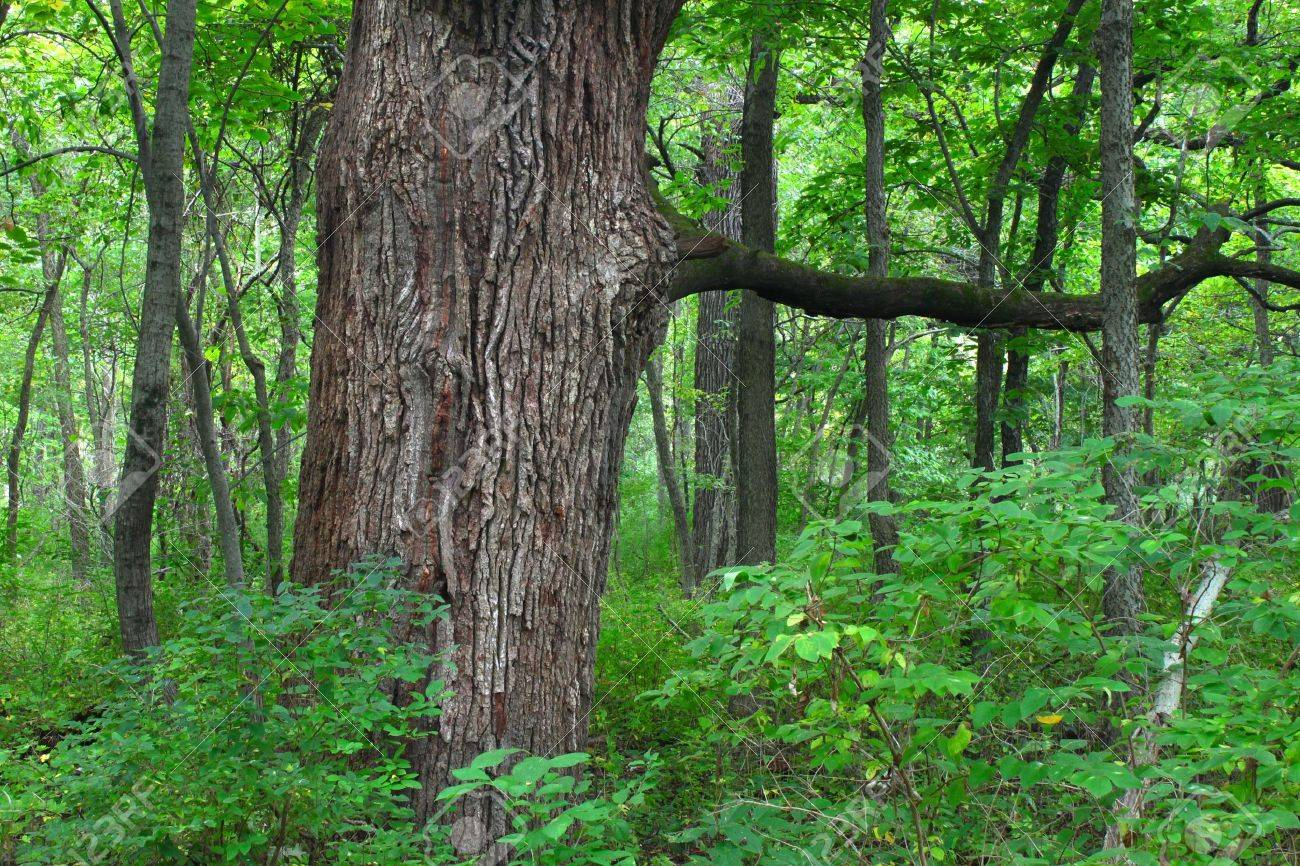 Oak tree grows in a dense forest of northern Illinois Stock Photo - 12582376