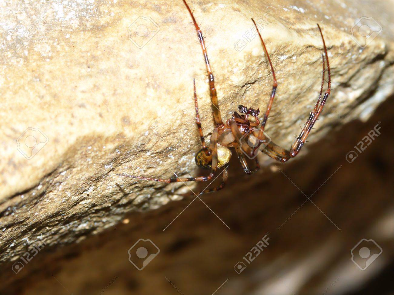 A Cave Orb Weaver Spider (Meta Ovalis) At Maquoketa Caves State ...