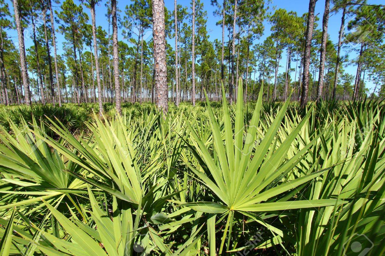 Saw Palmetto grows thick in the pine flatwoods of central Florida on a sunny day Stock Photo - 13405085