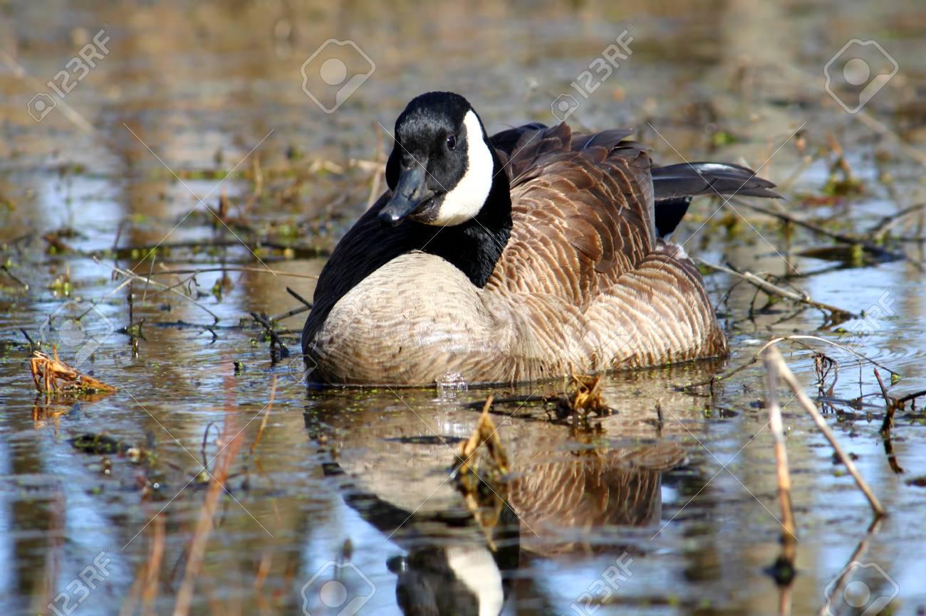 Canada Goose langford parka replica shop - Canada Goose Branta Canadensis At Deer Run Forest Preserve.. Stock ...