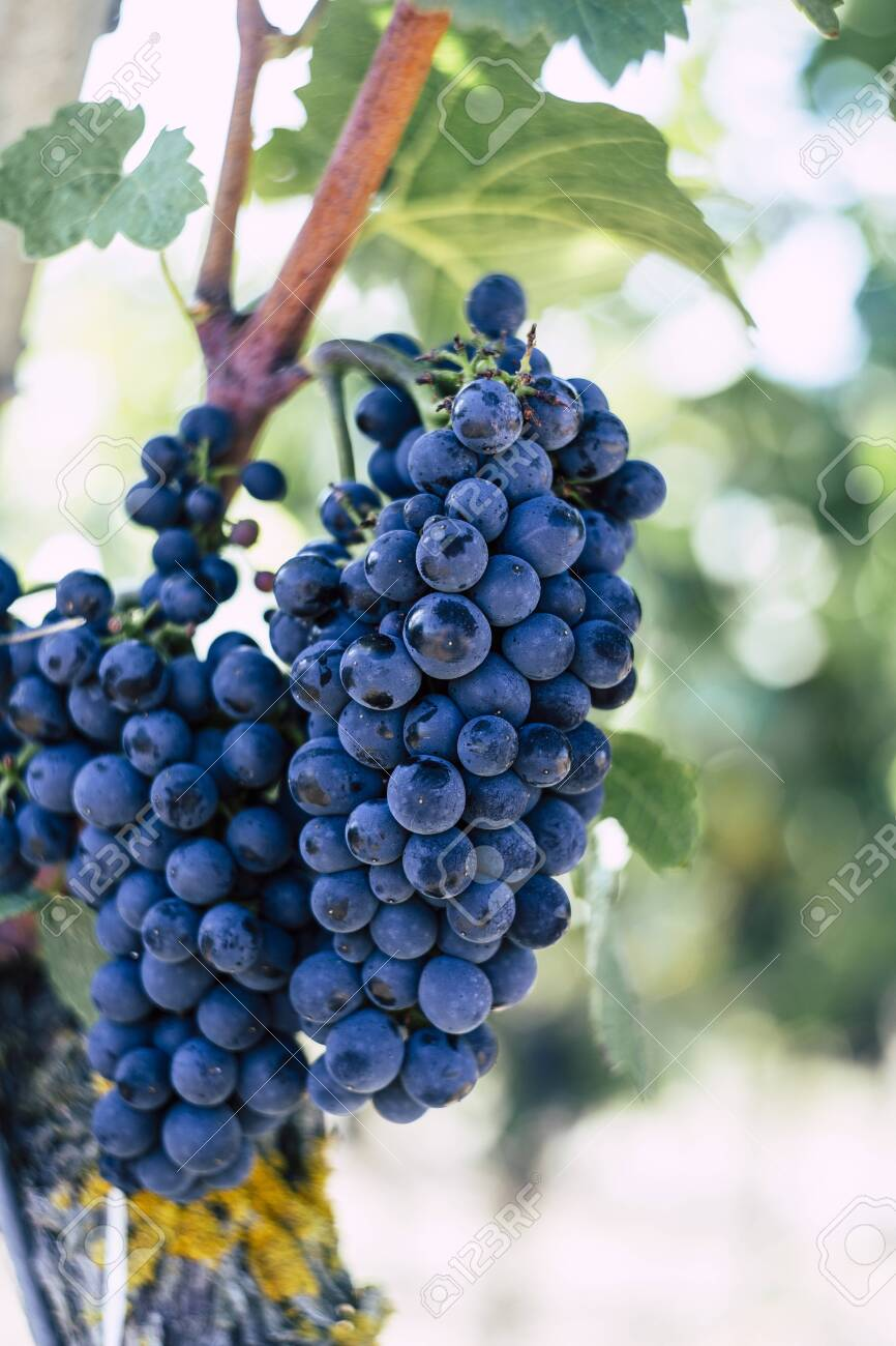 A vertical selective focus shot of purple grapes in a vineyard with a blurred background - 154354690