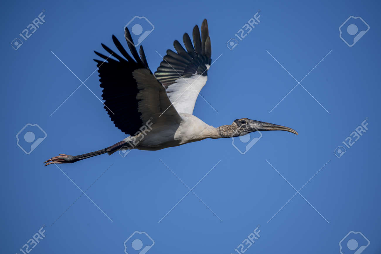 A wood stork flying in the sky under a blue sky - 167851126