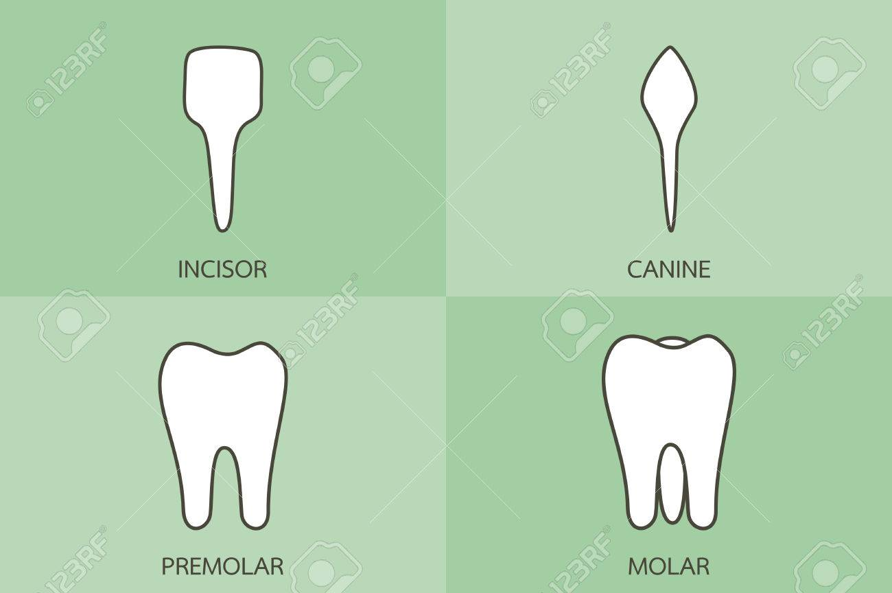 Zahn Cartoon-Vektor, Zahntyp - Schneidezahn, Eckzahn, Prämolaren ...