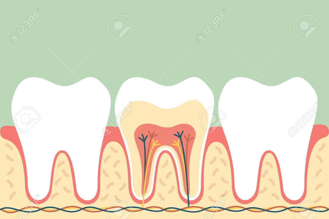 Dental Cartoon Flat Vector, Healthy Tooth Anatomy Royalty Free ...