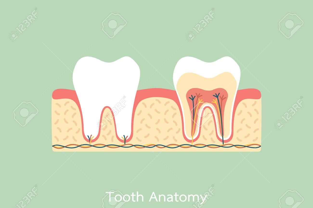 Un Dibujo Dental Vector Plano, Anatomía De Diente Sano ...