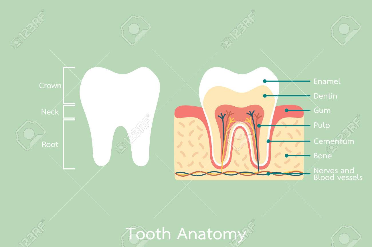 Dental Cartoon Flat Vector Healthy Tooth Anatomy With Word Royalty