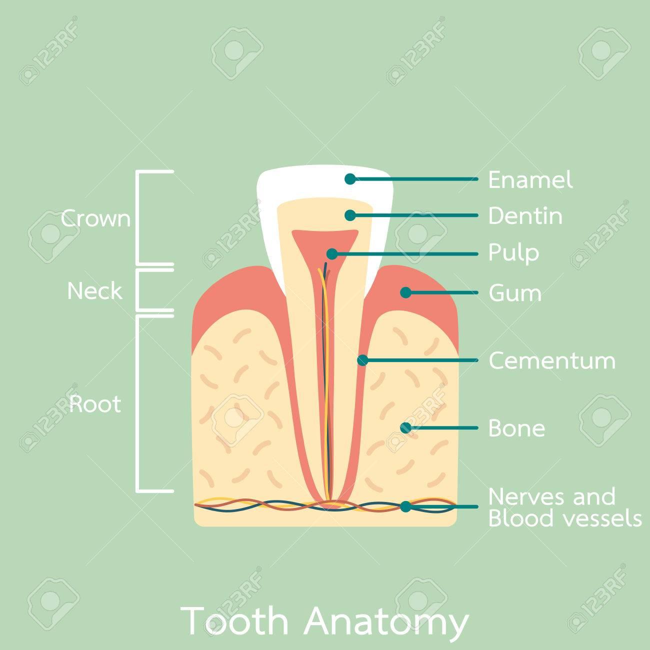 Vector Plano De Dibujos Animados Dentales, Estructura De La Anatomía ...
