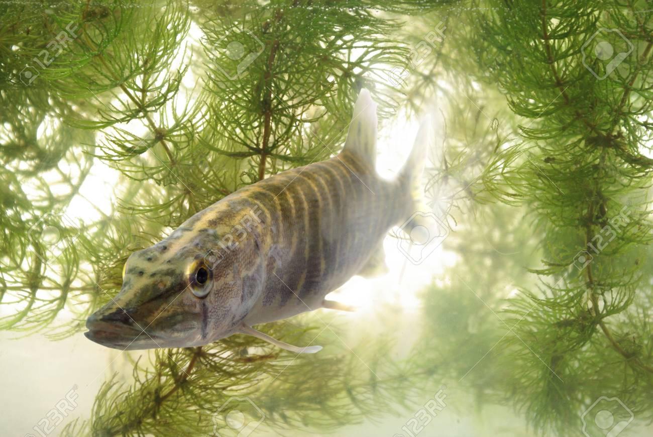 swimming in water predatory luce - 5279841