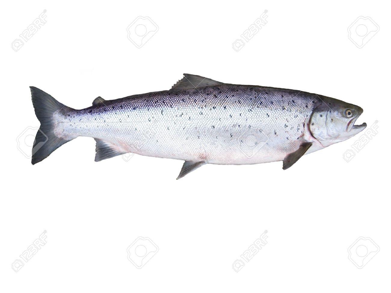 photo of fish salmon on white background - 5513071