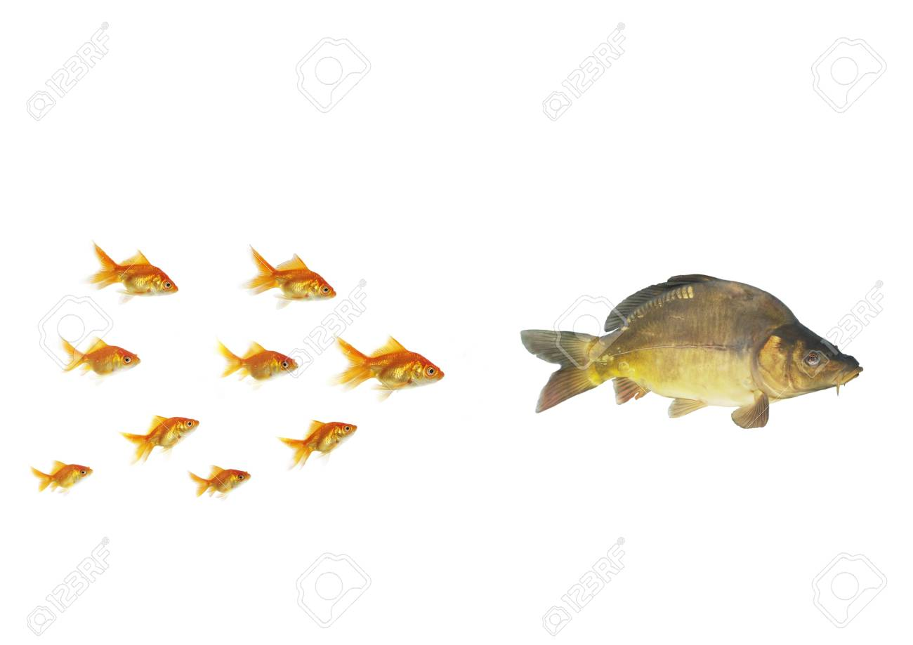 gold fish flowing for larger  on white background Stock Photo - 6354220