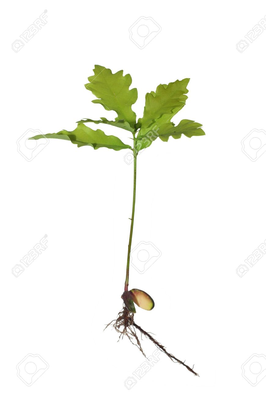 small oak from roots on white background - 7187003
