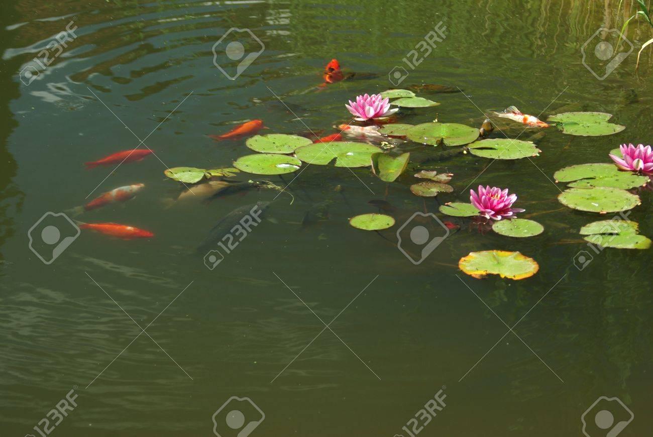 foto de archivo peces de natacin en estanque de nenfares