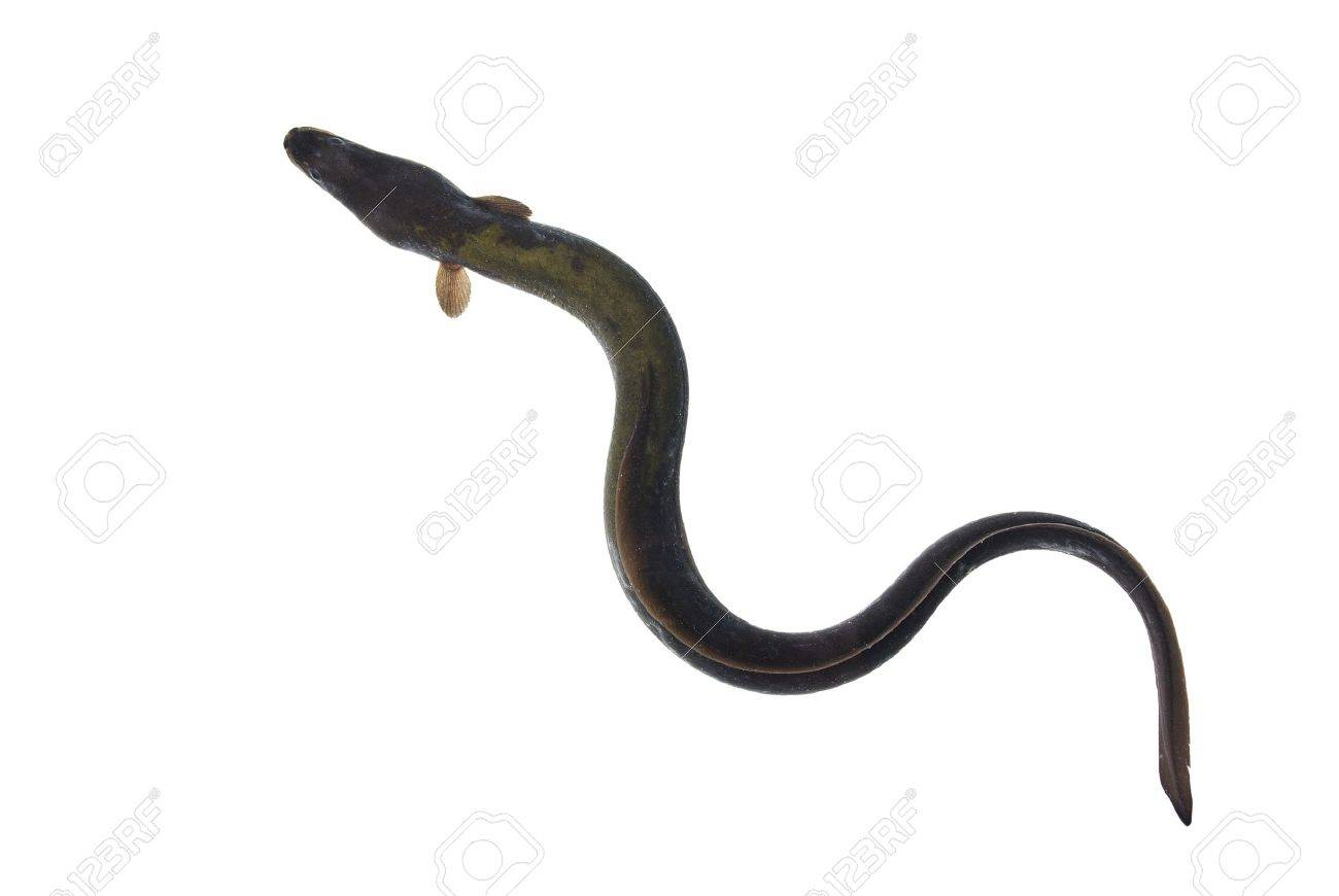 long eel on white background Stock Photo - 7527228